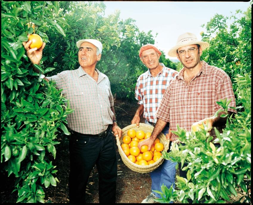 Orangenernte